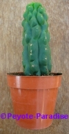 San Pedro Cactus monstervorm - 10+ cm - PLANT IN POT