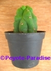 San Pedro Cactus monstervorm -  5+ cm - PLANT IN POT